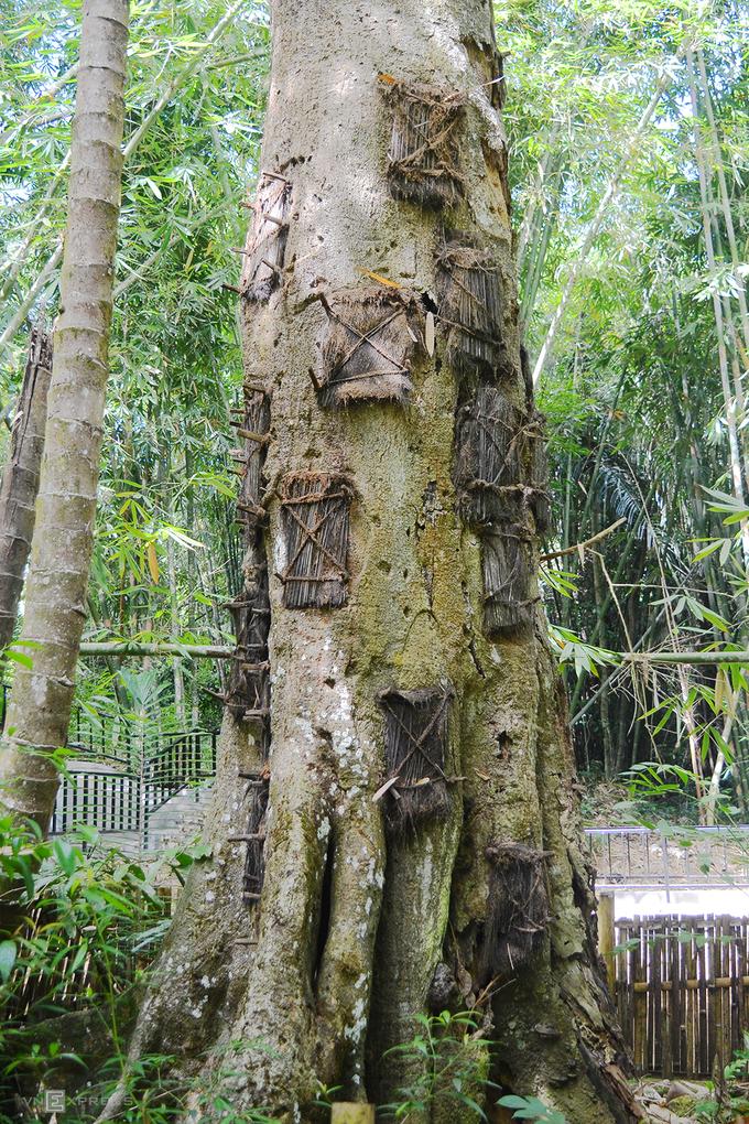 """Một hình thức mai táng cũng khá phổ biến ở phía bắc Toraja là chôn xác những đứa trẻ chưa mọc răng trong những gốc cây cổ thụ. Cha mẹ đứa trẻ sẽ khoét lỗ trên những thân cây khổng lồ, gói con họ vào các tấm vải và đưa vào trong. Người ta tin rằng nơi này sẽ giúp những đứa bé có thể """"hấp thụ"""" tự nhiên. Lỗ hổng sau đó được niêm phong bằng sợi cọ và khi thân cây hồi phục theo thời gian, cơ thể sẽ được hấp thụ. Hàng chục đứa trẻ được mai táng trong mỗi gốc cây."""