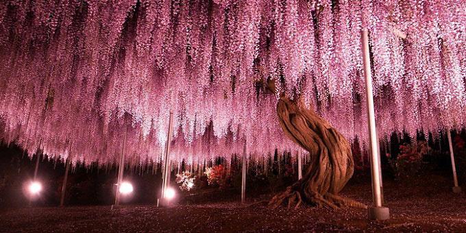 Cây tử đằng 149 tuổi ở công viên Ashikaga (tỉnh Tochigi) là cây tử đằng lớn nhất và có tuổi đời lâu nhất Nhật Bản. Tán cây phủ một diện tích lên tới 1.000 m2. Ảnh: Bored Panda.
