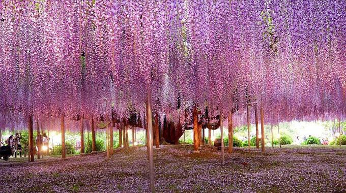 Loài cây trên có thân gỗ nhưng lại thuộc họ dây leo. Vì tán cây càng ngày càng rộng và dây leo chằng chịt, người Nhật đã dùng hệ thống cột sắt để giảm bớt sức nặng cho thân cây. Ảnh: Simplemost.
