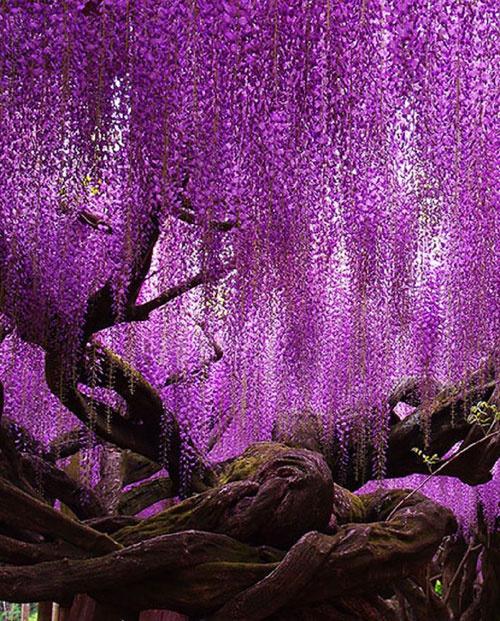 Loài hoa tử đằng ở Nhật Bản là biểu tượng của tình yêu vĩnh cửu. Cánh hoa mềm mại nhưng thân và rễ cây lại rất chắc chắn, mạnh mẽ thể hiện được khía cạnh đặc biệt của tình yêu. Đó chính là các đôi lứa phải luôn kiên trì để vượt qua khó khăn, thử thách. Ảnh: Pinterest.