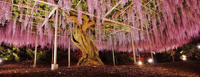 Ban đêm, công viên được thắp đèn, màu tím của hoa tử đằng hòa với ánh sáng tạo nên một không gian huyền ảo, lãng mạn, thu hút nhiều khách du lịch mùa hoa tử đằng. Địa chỉ: Công viên Ashikaga: 607 Hasamacho, Ashikaga, Tochigi. Ảnh: Reddit.