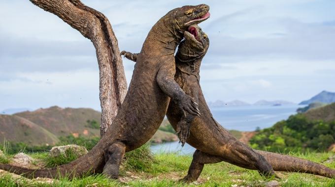Đảo Komodo đóng cửa với du khách vì nạn trộm rồng
