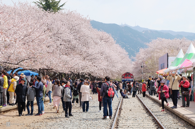 Jinhae là một khu vực trong thành phố Changwon, miền nam Hàn Quốc, nổi tiếng với lễ hội hoa anh đào được tổ chức thường niên vào mùa xuân. Đây cũng là một trong những điểm ngắm hoa anh đào đẹp bậc nhất ở xứ sở kim chi.