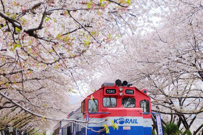 Ước tính ở Jinhae có khoảng 340.000 cây anh đào trồng dọc các đường phố, bờ sông và hai bên đường ray xe lửa, rải rác xung quanh các sườn núi.