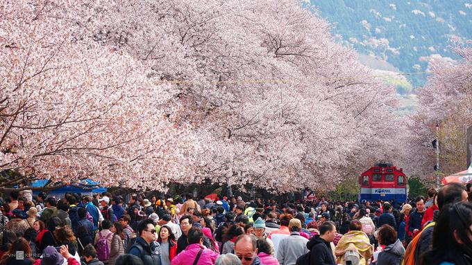 Hoa ở đây có kích thước không lớn, màu hồng nhạt, đẹp hơn dưới ánh nắng. Do được trồng san sát, các cây nở rộ với mật độ dày tạo thành mái che trên lối đi, vừa mát vừa đẹp mắt. Địa chỉ này cách Seoul 5 tiếng đi xe.
