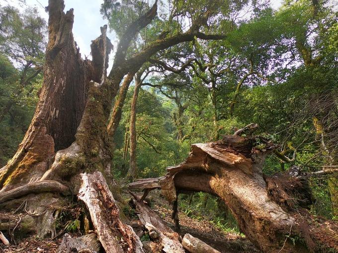 Rừng ở Tả Liên còn rất hoang sơ, với những gốc cây cổ thụ hàng trăm tuổi rêu phong đầy ma mị.