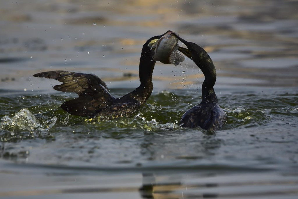 Do bị buộc lưới ở cổ, chim cốc chỉ có thể nuốt những con cá nhỏ. Trong khi đó, cá to sẽ mắc ở cổ họng. Khi chúng trở về bè, ngư dân sẽ lấy số cá đó. Miệng mỗi con chim cốc có thể chứa tối đa 6 con cá. Ảnh: TeachFuture.