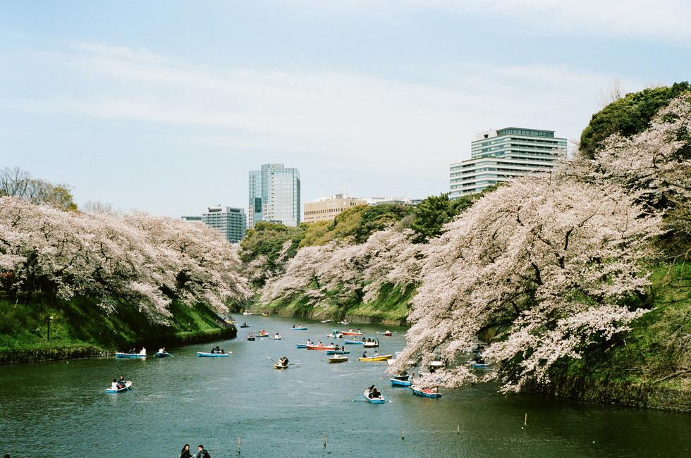Du khách chèo thuyền trong công viên Chidorigafuchi, Tokyo - Ảnh: ĐĂNG TRÌNH