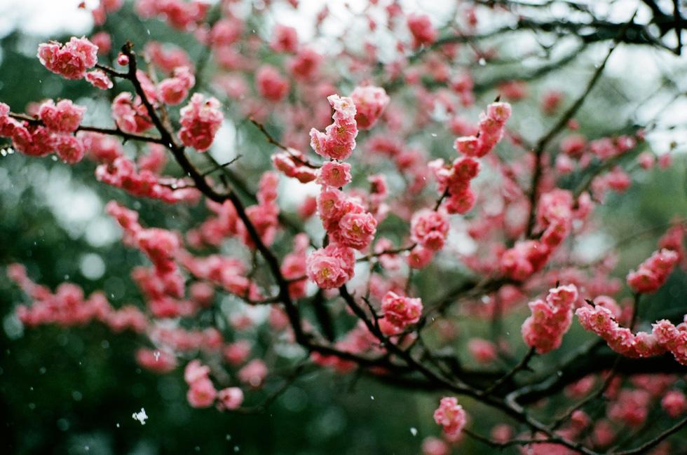 Một cành hoa mơ chớm nở trong vườn Kenrokuen ở Kanazawa - Ảnh: ĐĂNG TRÌNH