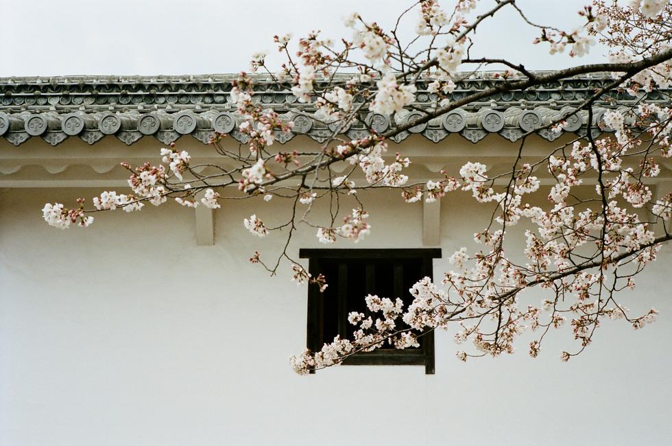 Một cành cây anh đào bắt ngang ô cửa sổ trong lâu đài Himeji, tỉnh Hyogo - Ảnh: ĐĂNG TRÌNH