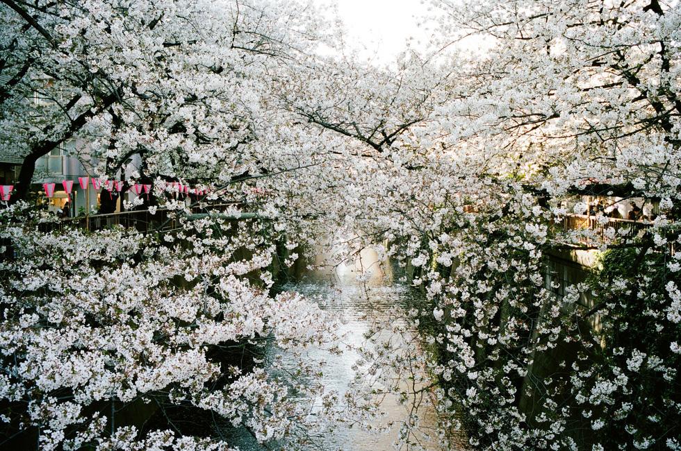 Sông Meguro là một trong những điểm ngắm hoa anh đào nổi tiếng nhất Tokyo - Ảnh: ĐĂNG TRÌNH