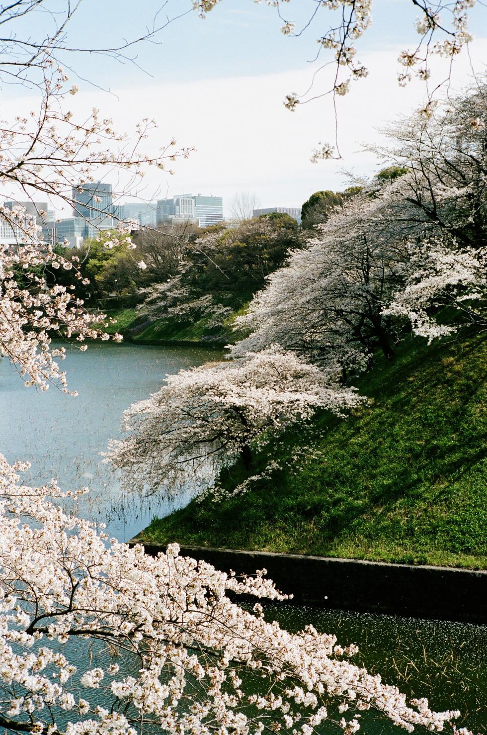 Một góc công viên Chidorigafuchi, Tokyo - Ảnh: ĐĂNG TRÌNH