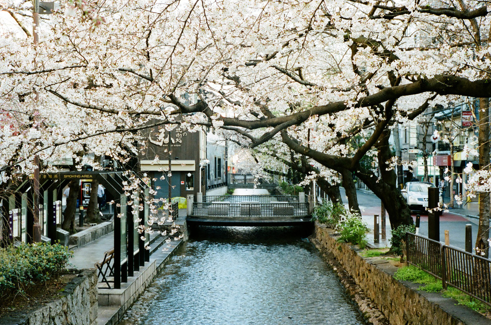 Một con kênh nhỏ với hàng cây hoa anh đào dọc đường Kiyamachi-dori, Kyoto - Ảnh: ĐĂNG TRÌNH