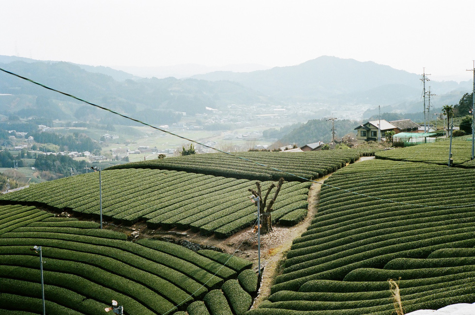 Đồi trà xanh mướt ở Wazuka, Kyoto - Ảnh: ĐĂNG TRÌNH