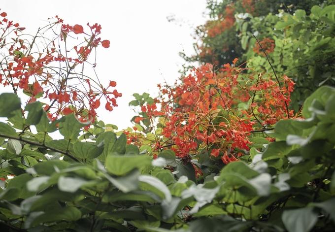 Bông nở thành chùm đỏ thắm như phượng vỹ. Bởi vậy, người dân đặt cho hoa chạc quạch cái tên khác nghe cuốn hút hơn là phượng vỹ dây hay lâm phượng vỹ.