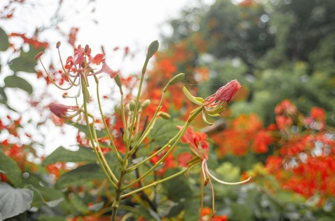 Cánh và nhị hoa tương tự phượng vỹ trồng nhiều ở các trường học. Tuy nhiên, lâm phượng vỹ nở rộ sớm hơn, vào tháng 3.