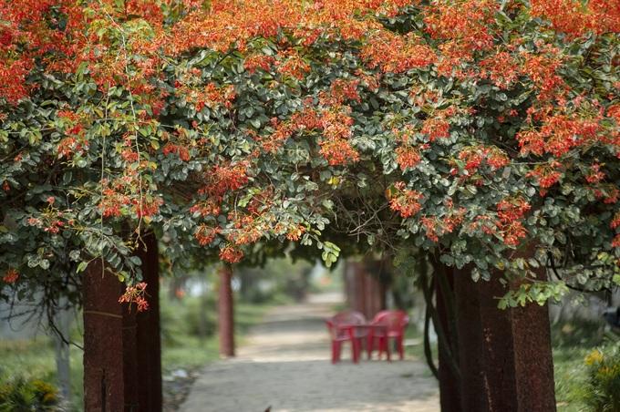 """Nhiếp ảnh gia Đặng Châu Anh Phong dành nhiều thời gian để ghi lại vẻ đẹp của loài hoa này. """"Mùa hoa nở giữa phố đẹp như bức tranh"""", anh Phong chia sẻ."""