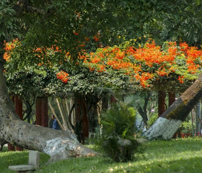 Các khu công viên, vườn cây thơ mộng hơn nhờ sắc hoa nổi bật trên nền lá xanh.