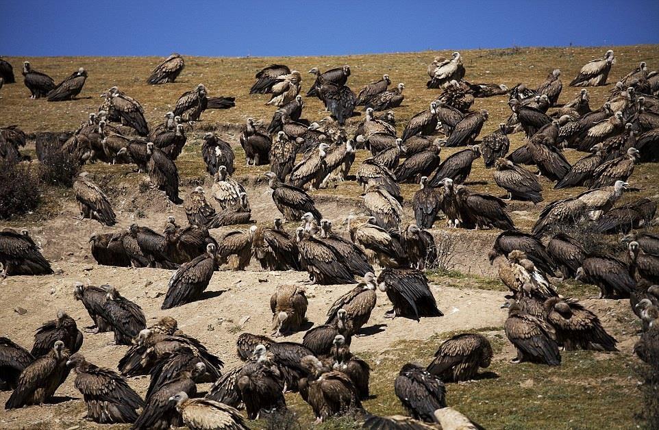 Người Tây Tạng cho rằng, kền kền như thiên sứ, giúp linh hồn của người đã khuất được chuyển kiếp. Theo Daily Mail, người Tây Tạng phản đối mạnh mẽ các chuyến thăm của du khách tới khu vực điểu táng.