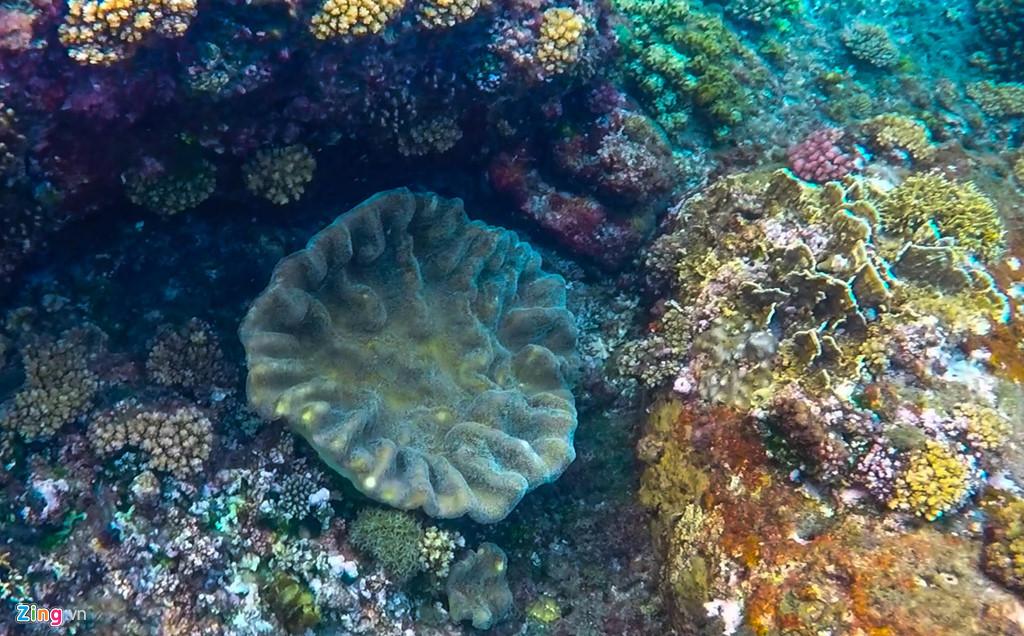 Hoa san hô hệt như bắp cải. Tour lặn khám phá vòm đá dung nham núi lửa ở xã đảo này khoảng 30 phút, du khách có thể ngắm san hô cùng nhiều loài rong biển và thủy sản sinh sống.