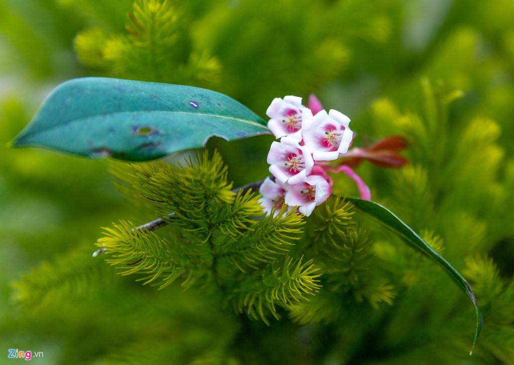 Hoa đào chuông, thuộc họ đỗ quyên là loài cây tiểu mộc, chỉ cao khoảng 5 m trở lại, lá nhỏ, nhánh non, không lông, được phân bố ở độ cao 1.400 m trở lên.