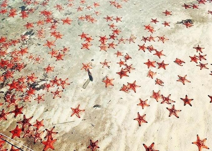 """Rạch Vẹm còn được nhiều du khách gọi là """"vương quốc sao biển"""" bởi nơi đây là """"nhà"""" của hàng nghìn con sao biển mà đỏ. Đến mùa, chúng kéo nhau hàng đàn trông đẹp mắt."""