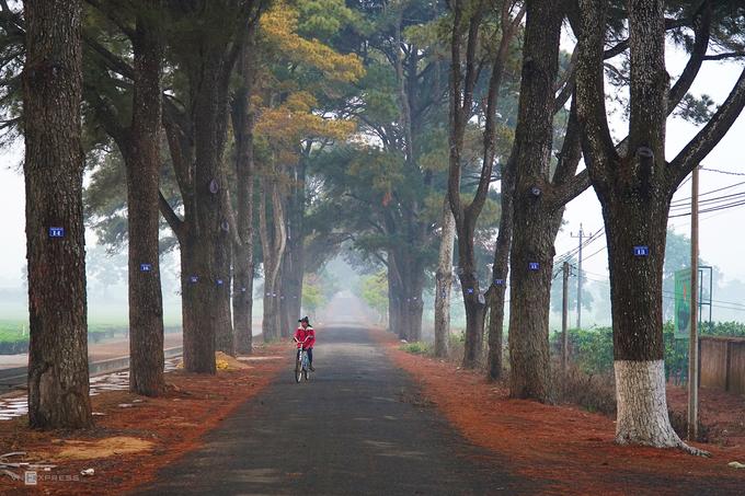 """""""Con đường Hàn Quốc""""  Đây là một trong những điểm check-in nổi tiếng nhất ở Gia Lai, cách trung tâm Pleiku khoảng 10 km, nằm trong Biển Hồ Chè. Nhờ khung cảnh xanh mướt của hai hàng cây lá kim giống bối cảnh nhiều bộ phim Hàn Quốc, con đường này hấp dẫn những người yêu thích chụp ảnh. Sáng sớm là lúc bạn có thể bắt gặp hình ảnh sương phủ mờ ảo ở con đường."""