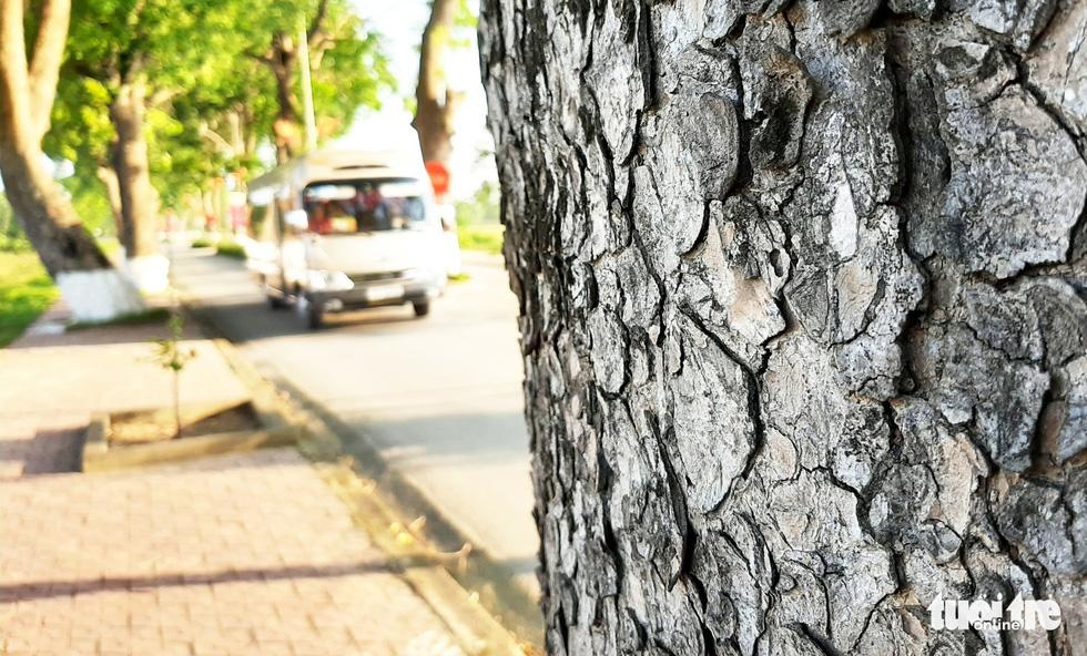Rất nhiều cây cổ thụ có đường kính lớn cả mét, phải hai người ôm mới xuể, có những cây cao 20-30m - Ảnh: DOÃN HÒA