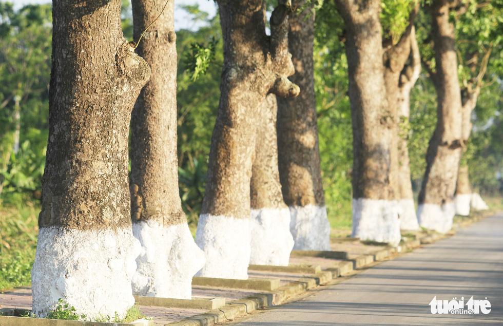 Vượt qua thử thách thời gian, hàng cây xà cừ trên quê hương Bác vẫn luôn xanh tốt - Ảnh: DOÃN HÒA
