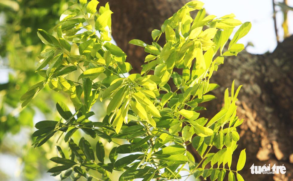 Mùa thay lá những cành lá xà cừ xanh non - Ảnh: DOÃN HÒA