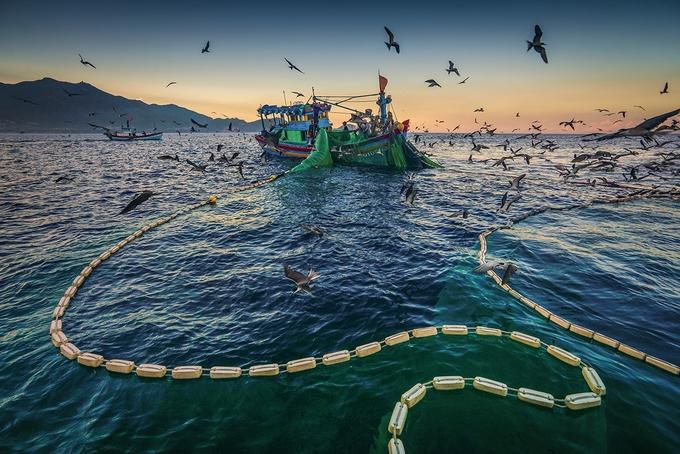 Đàn hải âu sà xuống ăn cá cơm.
