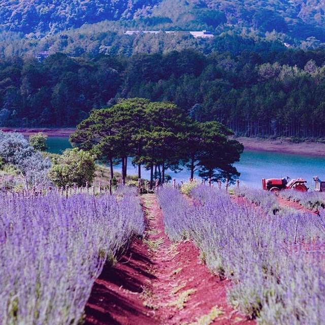 hoa lavender - dalat-ivivu-3