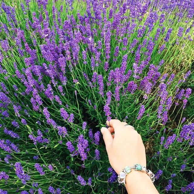 hoa lavender - dalat-ivivu-7