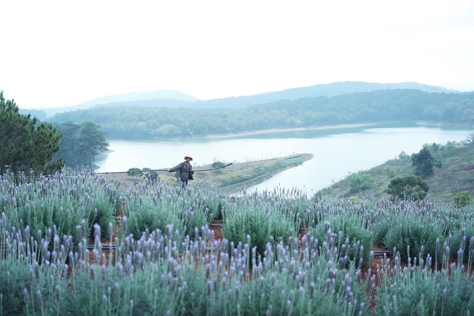 hoa lavender - dalat-ivivu-9