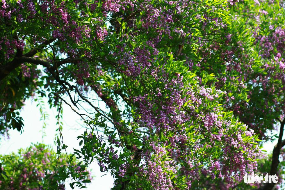 Hoa thàn mát bung nở rực rỡ một góc rừng - Ảnh: TẤN LỰC