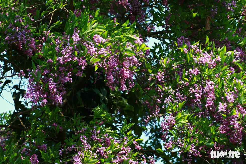 Loài hoa này nở rất rộ và rực rỡ - Ảnh: TẤN LỰC