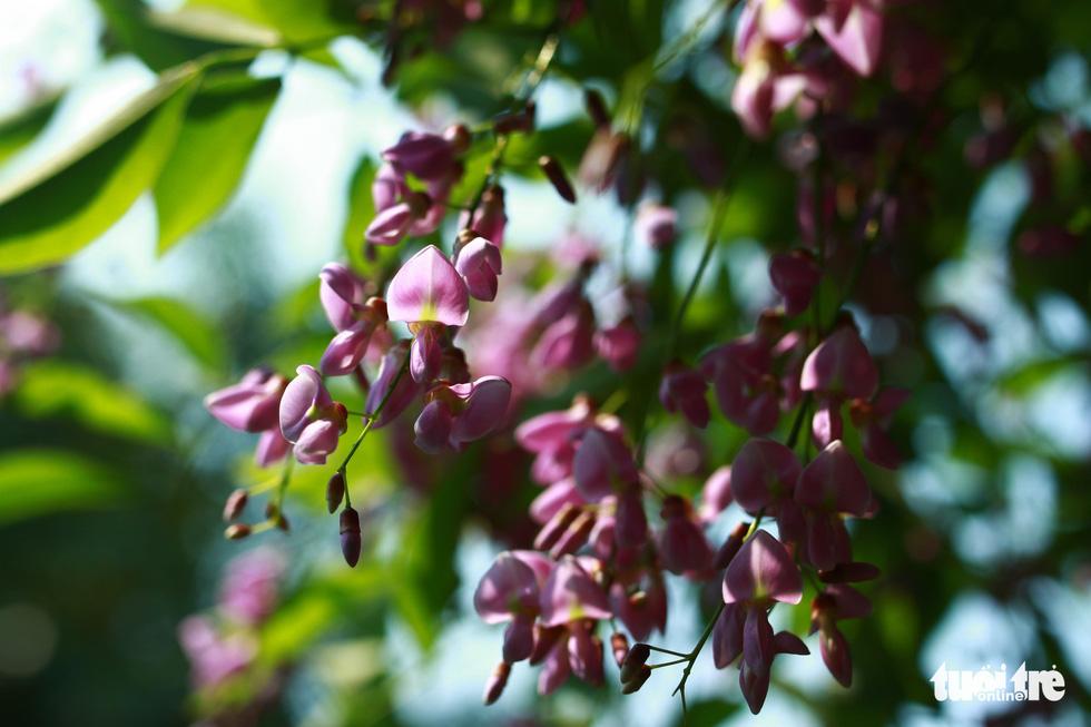 Hoa thơm mùi dễ chịu - Ảnh: TẤN LỰC