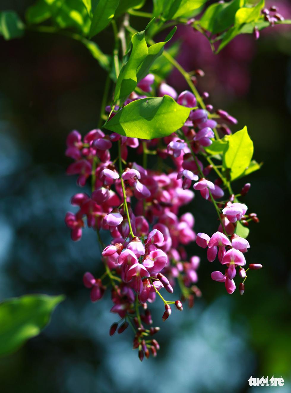 Chùm hoa thàn mát lung linh trong nắng - Ảnh: TẤN LỰC