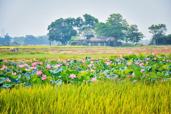 Nổi bật giữa ruộng lúa vàng ươm là ao sen nở rộ. Mùa sen ở Huế kéo dài đến tháng 8. Đứng từ xa, du khách có thể cảm nhận được hương thơm dịu nhẹ của loài hoa này quyện với mùi cỏ cây, đồng ruộng.