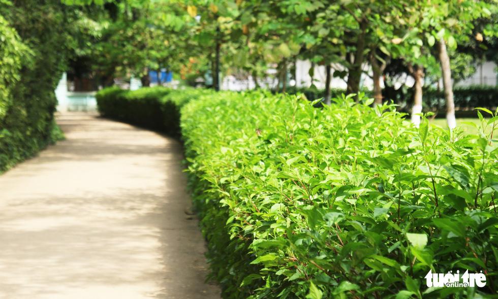 Bờ hoa râm bụt phủ dày xanh ngát hai hàng lối đi. Trong số những loài cây được Bác yêu thích và hiện diện trong suốt cuộc đời Người, kể cả khi Người phải xa quê hương, xa Tổ quốc là bóng hình của hoa râm bụt - Ảnh: DOÃN HÒA