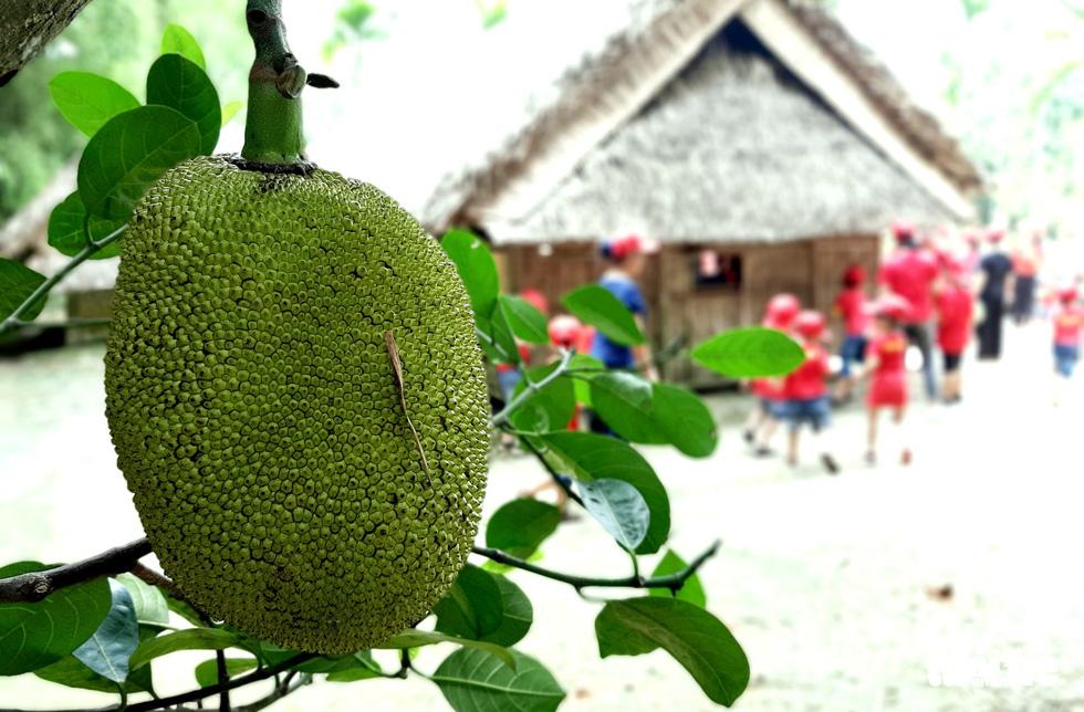 Xung quanh khu vườn ở quê ngoại Bác Hồ, nhiều loại cây ăn quả đều đặn ra trái nhờ bàn tay chăm sóc, bảo vệ của nhân viên Ban quản lý Khu di tích Kim Liên - Ảnh: DOÃN HÒA