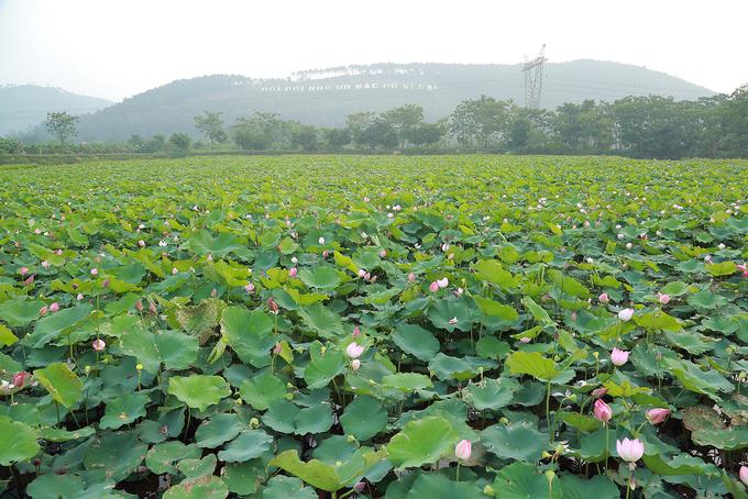 Cách TP Vinh hơn 20 km, ngay dưới chân núi thuộc xã Nam Tân, huyện Nam Đàn có nhiều đầm sen bung nở.