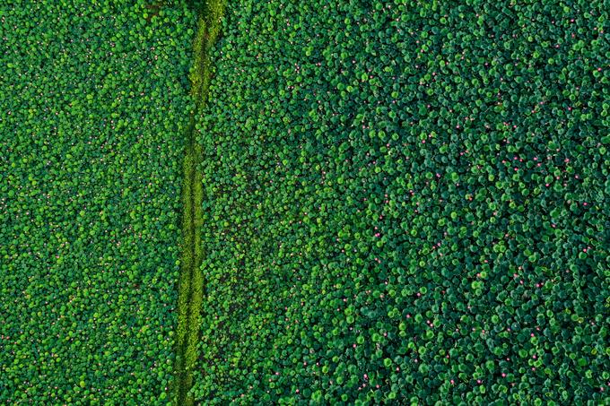 Từ trên cao, các đầm sen tựa như bức tranh thiên nhiên xen lẫn màu xanh của lá và màu hồng của sen với những lối đi quanh co.