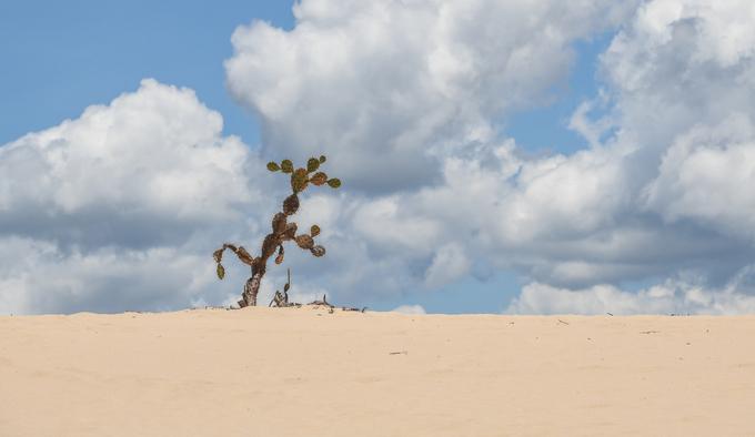 """Xương rồng bà là loài thực vật mọc rất nhiều ở bán đảo Phương Mai và Eo Gió. Ngoài biệt danh """"tấm bình phong"""" khổng lồ án ngữ phía biển cho thành phố, nơi này còn được các du khách ví như """"sa mạc Sahara thu nhỏ ở Quy Nhơn""""."""