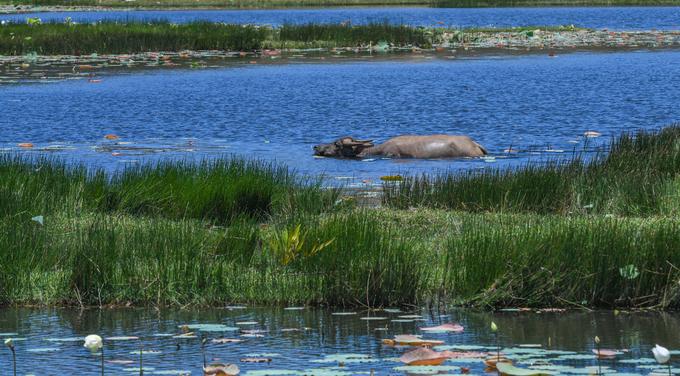 Ngay chân đồi cát Phương Mai là một đầm nước ngọt, nơi người dân thường thả trâu, bò để chúng đi kiếm ăn vào ban ngày.