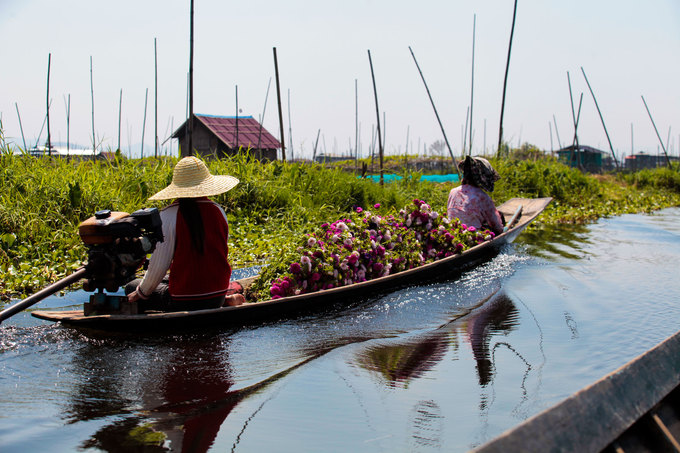 Không chỉ làm nhà trên mặt nước, người dân Inle còn canh tác ngay trên mặt hồ. Đây được xem là một trong những phương thức trồng trọt độc đáo bậc nhất thế giới. Theo người dân, hồ Inle ít khi có sóng gió lớn. Họ dùng xác bèo, rong rêu đóng thành những bè nổi và trồng trọt trên đó.
