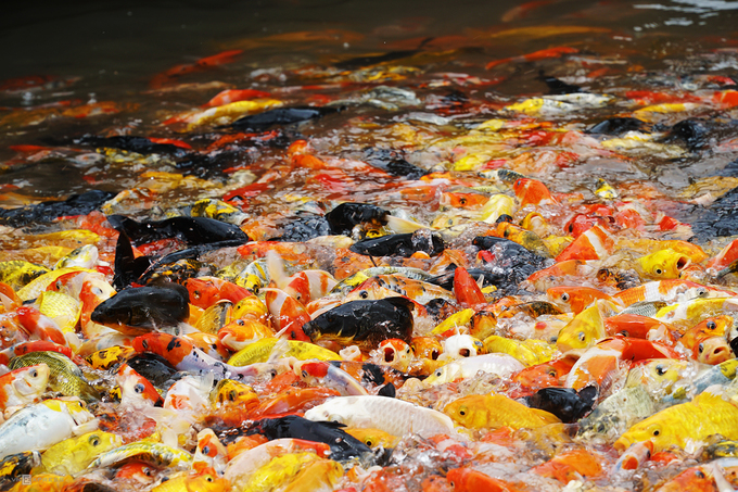 """Cá Koi ngũ sắc là một trong những """"đặc sản"""" níu chân khách ở đây. Đàn cá hàng nghìn con vẫy nước liên tục khi có người cho ăn khiến không khí trở nên sôi động."""