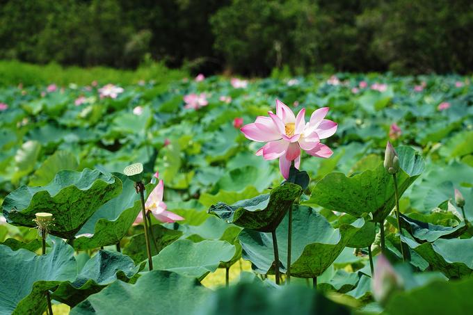Ngồi trên thuyền, từ xa, du khách đã có thể nhìn thấy hoa lấp ló dưới bóng cây tràm.
