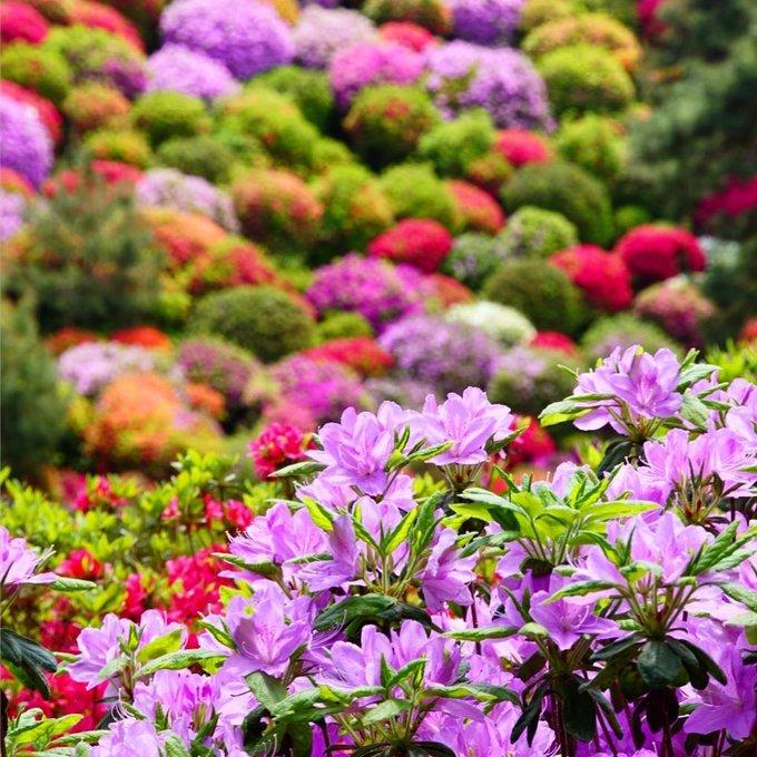 Hoa đỗ quyên phổ biến ở Nhật từ thời kỳ Edo. Những loại có màu hồng đậm, tím, trắng đều được tạo ra và trồng tại Nhật cách đây 300 năm. Ảnh: IG.
