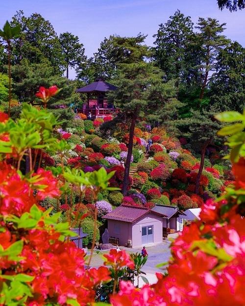 """Ngoài đỗ quyên, đền còn nổi tiếng với hoa cẩm tú cầu tháng 6, hoa loa kèn tháng 7, tới tháng 9, 10 là thời gian của hoa bỉ ngạn. Vì thế, đền còn có tên gọi khác là """"ngôi đền hoa"""". Ảnh: Yurie."""